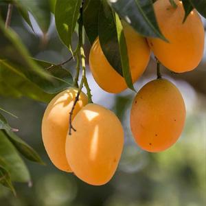 Mango Festival at Mews Café